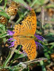 DSC_0849 Butterfly in Királyrét (Csaba_Bajko) Tags: flowers flower nature forest butterfly flying nice nikon colorful europe hungary d70 nikond70 nikkor magyar hungarian magyarország naturesfinest 2880mmf3556dn hungaricus királyrét bajkócsaba betterthangood onephotoweeklycontest