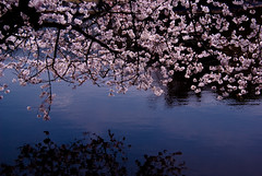 sakura reflection (takay) Tags: pink flower japan tokyo spring pond shinjuku  cherryblossom sakura  shinjukugyoen japanesecherry    takay