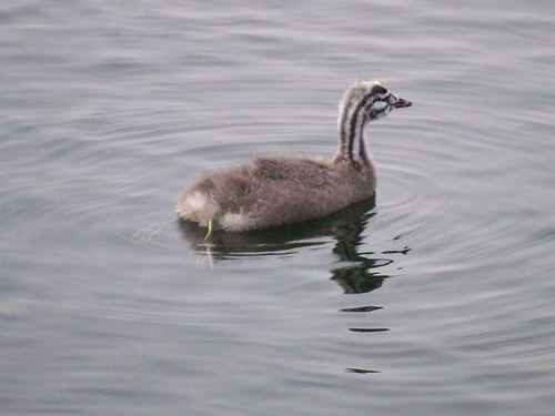 Great Crested Grebe chick on Canada Water