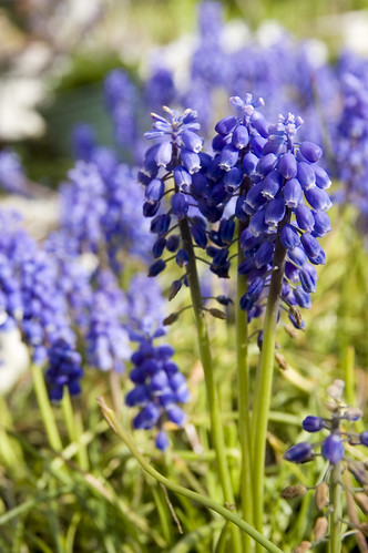 Grape Hyacinth, Yoyogi Park