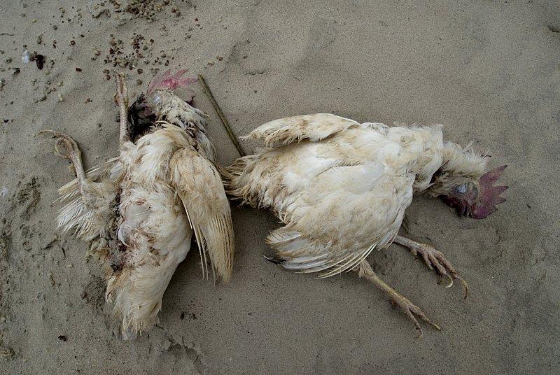 Chicken Sacrifice