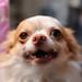 チワワ:Chihuahua_02