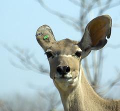 Piercing Gone Bad ! Or Punk Antelope ! (Property#1) Tags: park urban toronto canada digital photo image sigma ears piercing antelope torontozoo property1 pentaxk10d