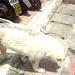 秋田犬:P1180902