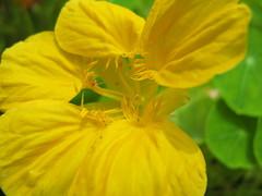 Nasturtium / Tropaeolum majus / () (TANAKA Juuyoh ()) Tags: flower yellow high hires hi tropaeolum  res nasturtium majus g7             taxonomy:binomial=tropaeolummajus