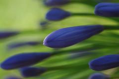 Agapnthus (David Lev) Tags: blue plants flower macro buds agapanthus mygarden soe nirim bej shieldofexcellence platinumphoto diamondclassphotographer flickrdiamond citrit ysplix theunforgettablepictures flowersmacroworld macroflowerlovers