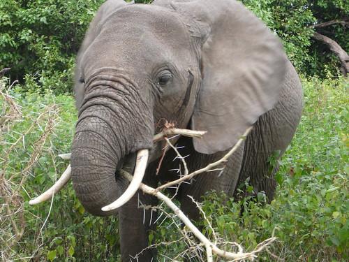 Elefante comiendo espinas Tanzania