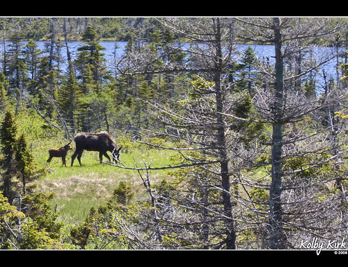 Moose Mom With Calf