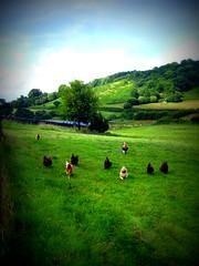 Chicken Run! (lisaluvz) Tags: wild lake green chickens abbey birds wales happy lomo carmarthenshire farm free running hills fowl lush effect picnik talley valleys roaming diamondclassphotographer flickrdiamond lisaluvz