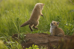 flying fox_Q2E3743 (bud_marschner) Tags: red alaska river fox kit soe mcneil abigfave onephotoweeklycontest