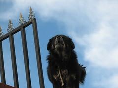 Tibetan Mastiff in Lhasa (Namisan) Tags: dog mastiff tibet lhasa bigdog tibetdog tibetmastiff