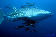 Whale Shark at Koh Tao Island, Thailand (_takau99) Tags: ocean trip travel sea vacation holiday fish uw nature water topv111 thailand lumix shark topv555 topv333 marine underwater topv1111 topv444 scuba diving topv222 panasonic explore tropical l scubadiving whaleshark 20 tao topv666 topf10 kohtao 2007 topf5 fx30  takau99 explore100 dmcfx30 gilfofthailand