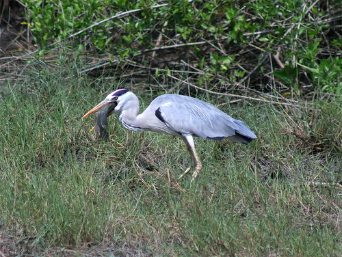 Grey Heron Swallowing Fish 2