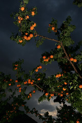 Cots | Phantom Limbs (Bhlubarber) Tags: light sunset food canada tree fruit night stand desert market dusk britishcolumbia okanagan farm orchard apricot lit pick parsons similkameen ripe goldbar keremeos davidniddrie