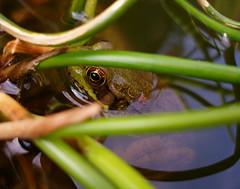 Frog (scosborne) Tags: macro green eye gold pond frog corkscrewrush