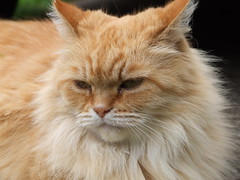 Fluffy ginger cat (Russ Cribb) Tags: face cat hair fur ginger furry feline fluffy whiskers lovely contented cc1100 applebyinwestmorland cat1100 russcribb friendsofzeusphoebe
