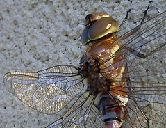 Canada Darner Dragonfly female (DianesDigitals) Tags: dragonflies dragonfly damselflies canadadarner aeshnacanadensis dianesdigitals