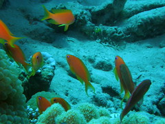 Antias joya, hembras (Pseudanthias squamipinnis) (copepodo) Tags: fauna redsea diving jordan aqaba buceo jordania submarinismo marrojo