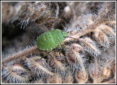 GreenStinkBug copy