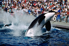 ALAMY-AT6JB8 (richardfoxphotoeditor) Tags: killer whale vancouver aquarium perform orca orcinus show canadian bc north america photo image horizontal 35mm 35 mm pacific northwest west coast marine mammal wild animal warmblooded large captive captivity performing performer entertain entertaining entertainment trained leap leaping splash splashes splashing spectator tourist visitor crowd audience watch pool water controversy controversial outdoor 1 one single lone black white tourism attraction
