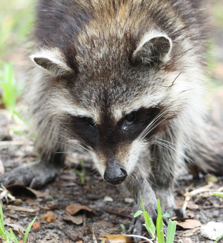 raccoon research paper Raccoon report essays: over 180,000 raccoon report essays, raccoon report term papers, raccoon report research paper, book reports 184 990 essays, term and research.