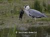 Blauwe Reiger eet konijn. Derde foto uit een serie van zeven. Op dit én op foto vier wordt het zojuist verdronken konijn uit het water omhoog gehaald. Grey Heron eats rabbit.
