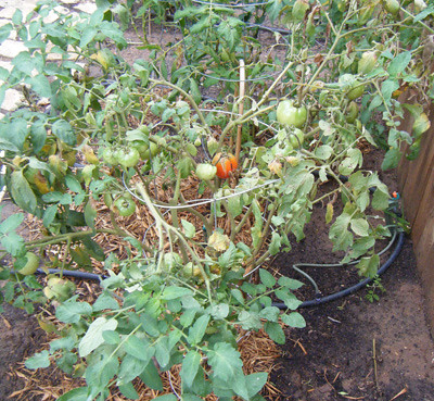 Tomatoes Growing Pictures