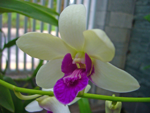My first little Orchid.