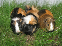 Guinea Pigs (photon_de) Tags: animal guinea pig g9