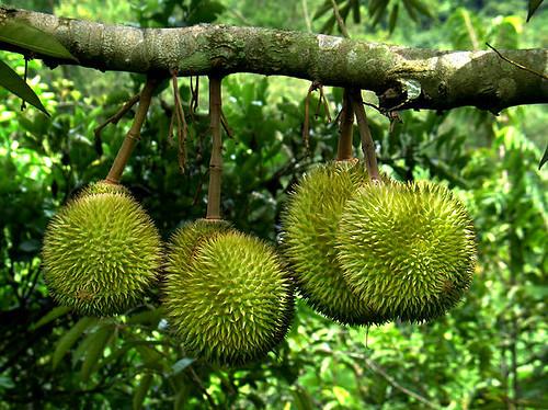 durian_malaysia