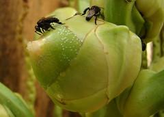 Chupa-coco (Tarcísio Schnaider) Tags: brazil verde água brasil insect iso100 amazon coconut sony natureza picasa preto abelha coco inseto f4 pará fotógrafo 52mm oliveira tarcisio amazônia sugando barcarena h50 chupando guaxupé cupira arapu schnaider arapuá viladoscabanos arapuã irapuá aripuá sonydsch50 sonyh50 abelhacachorro abelhadecachorro abelhairapuá abelhairapuã arapica axupé caapuã cabapuã enrolacabelo meldecachorro torcecabelo urapuca