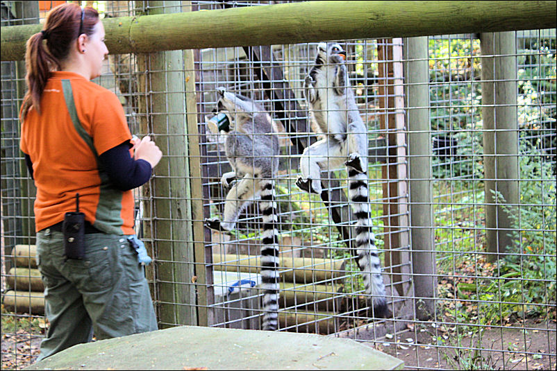 Keeper and Ring Tail Lemurs