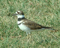 Worried Killdeer