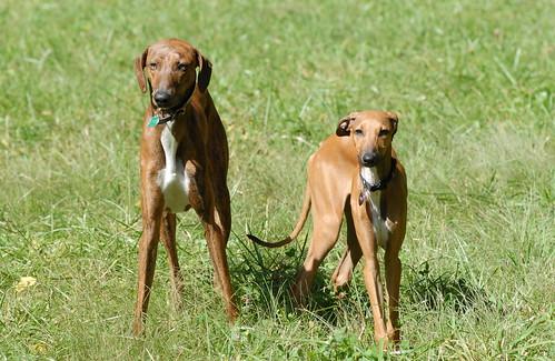 Azawakh Africa Dog