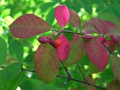 Season's Change (mudder_bbc) Tags: autumn red plants color green fall leaves seasons bokeh foliage fourseasons bushes burningbush shrubs colorchange theworldisbeautiful