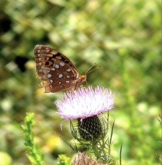 Thistle and Butterfly (Tracey Tilson Photography) Tags: plants plant color nature butterfly insect gold design nc wings colorful purple thistle sunday northcarolina 2008 blueridgemountains blueridgeparkway flutter blackspots westernnorthcarolina whitespots julianpricepark autumn2008