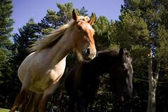 CAVALLS (Dani Morell) Tags: horses horse animal animals caballo caballos girona animales catalunya girones pasoscatalans cavall refugi ripolles cavalls ppcc campelles