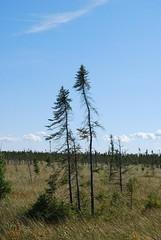 Black spruce crown in Big Bog State Rec. Area (esagor) Tags: minnesota forest woodland boardwalk bog mn tamarack larixlaricina baudette blackspruce minnesotawoods piceamariana subboreal bigbogstatepark bigbogstaterecreationarea