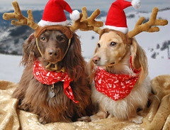 Reindoxies (Doxieone) Tags: christmas red dog reindeer dachshund final bandana mostpopular ggg 2do theset topfavorite xmas2008 ayearofholidays