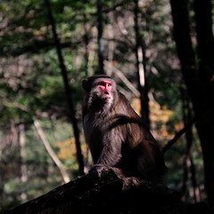 DSC_8484 (Alps Wen) Tags: monkey nikon nikkor hunan zhangjiajie d300 2470 2470mmf28g worldnatureheritage