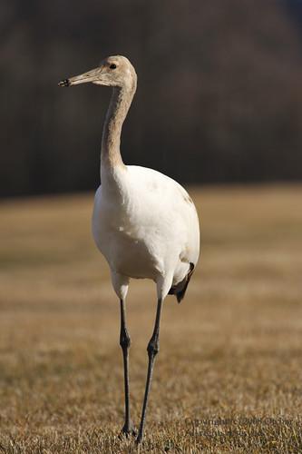 Japanese Crane (Immature)