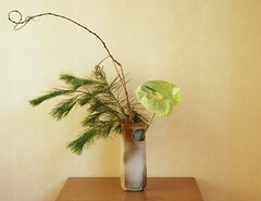 Ikebana 'Are you knots?!' (Otomodachi) Tags: flower green pine ceramics groen branch ikebana anthurium spar tak flowerarrangement bloem keramiek passiebloem pasionflower japaneseflowerarrangement bloemschikking zaalberg schikking