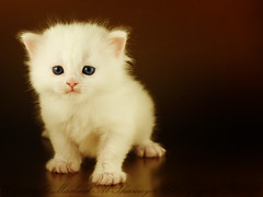 Mesha (Mashael Al-Shuwayer) Tags: pet cup animal digital cat canon eos kitten 85mm kittens saudi arabia mesha alkhobar 400d pet100 mashael alshuwayer