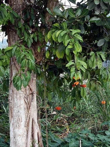 Juanulloa cf. parasitica, habit