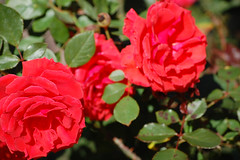 Exposition Rose Garden
