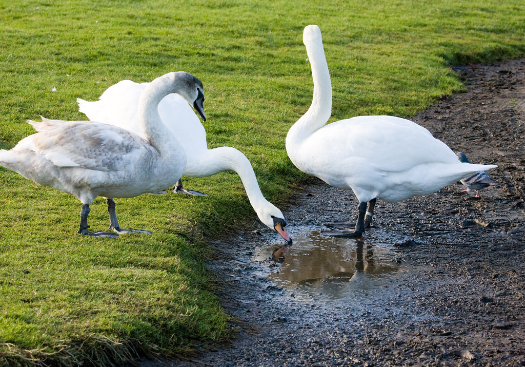 Swans In Blackrock Park