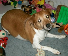 Gracie 6 (Beyond.the.Box) Tags: dog pet baby love puppy toys gracie princess joy plushies softies browndog doggie jackrussellterrier dogtoys brownandwhitedog thinkoutsidethebox2008 squeekytoys