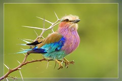 Colors of Africa (hvhe1) Tags: africa bird nature animal southafrica bravo wildlife rolller nat