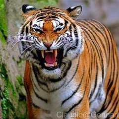 Tiger attak...