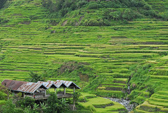 PHL-Banaue-0607-11-v1 (anthonyasael) Tags: world roof people house mountain building heritage nature beauty field horizontal rural landscape outside outdoors site scenery solitude peace exterior rice paddy terrace outdoor no philippines terraces scenic peaceful nobody scene unesco foliage crop serenity area fields environment serene areas lush agriculture ricefield banaue greenhill tranquil scenics cultivation agricultural tiled in terraced cultivated cultivate topb asael anthonyasael philippinesrice